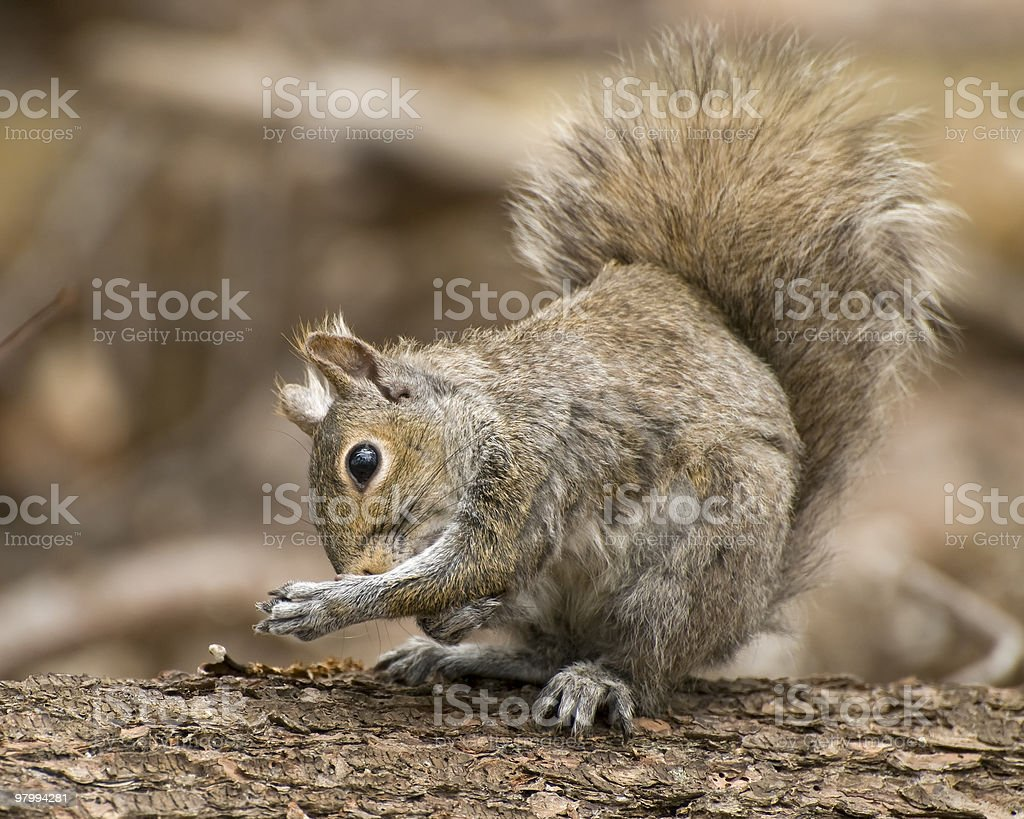 Grooming Squirrel royalty free stockfoto