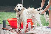 Woman washing her dog, Golden Labrador Retriever, outdoors on hot summer day