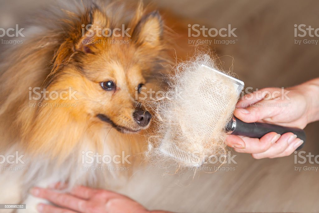 grooming with a dog brush on a shetland sheepdog – Foto
