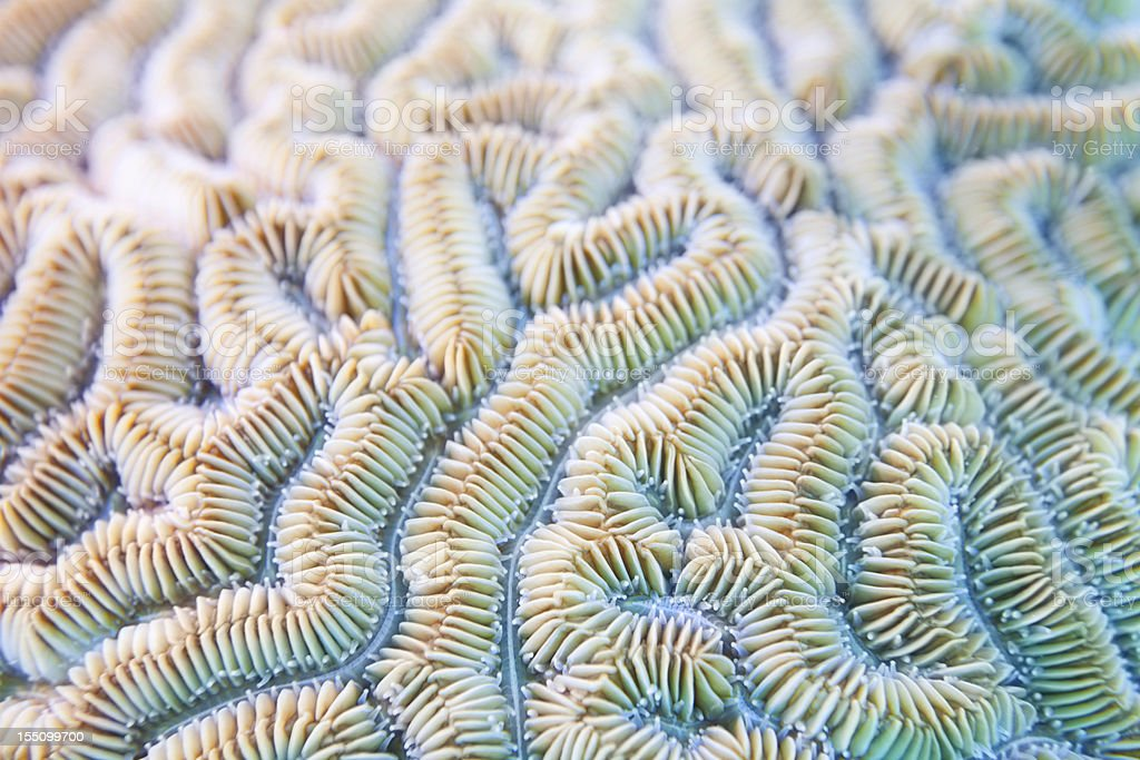 Grooved Brain Coral Background - Diploria labyrinthiformis stock photo