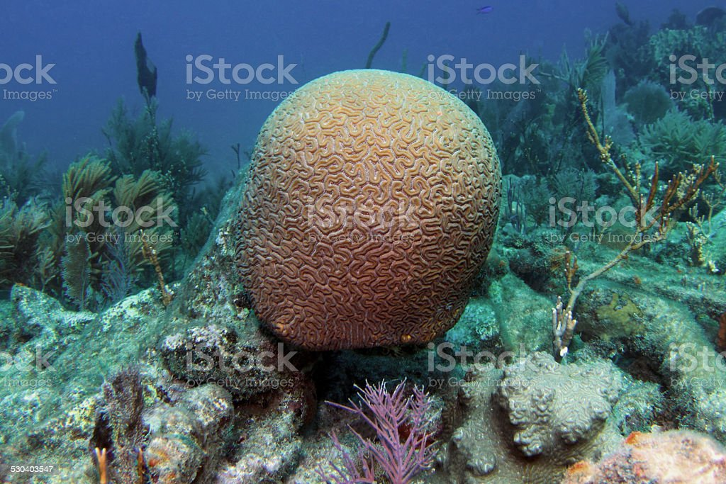 Grooved Brain Coral stock photo