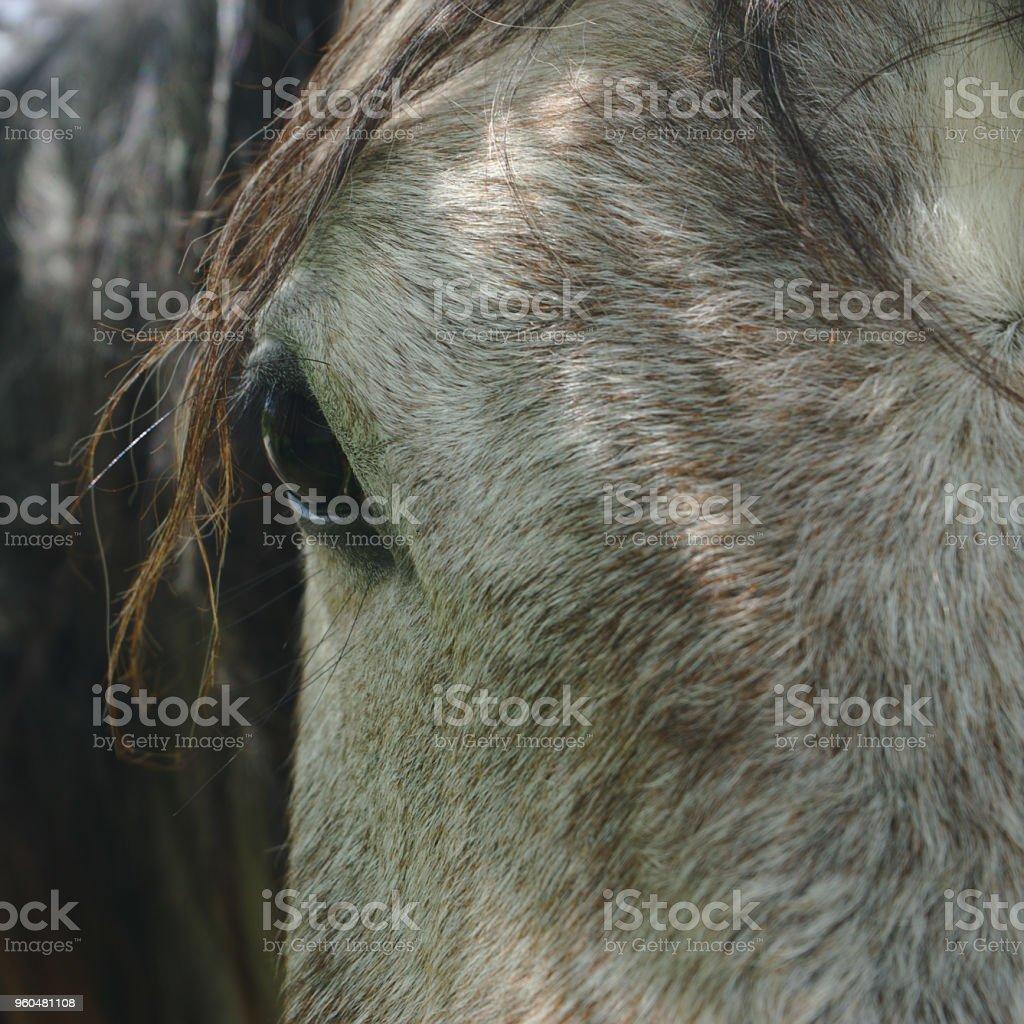 gros plan sur un oeil de cheval gris stock photo