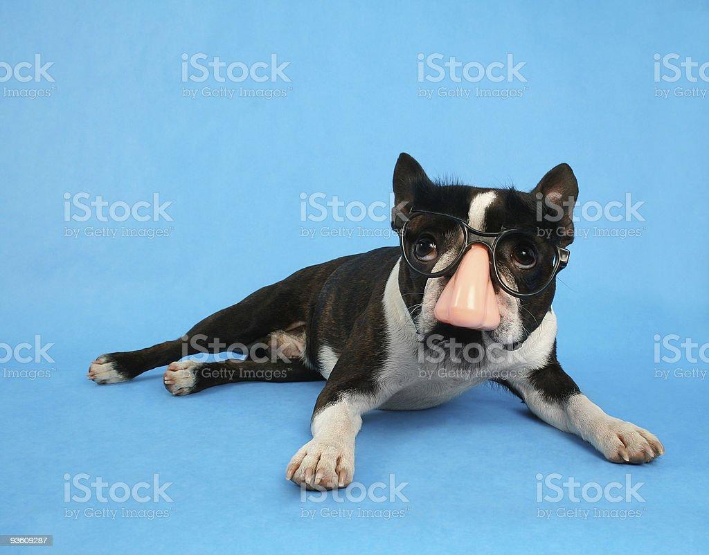 groucho dog stock photo