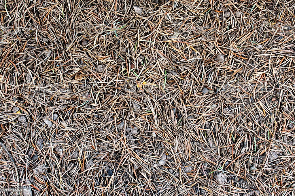Ground covered in pine needles - texture, background 1 foto royalty-free