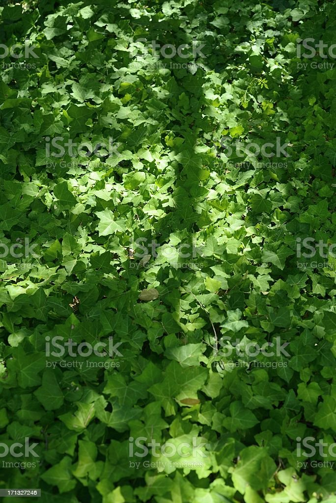 Ground Covering Ivy in Woodland stock photo
