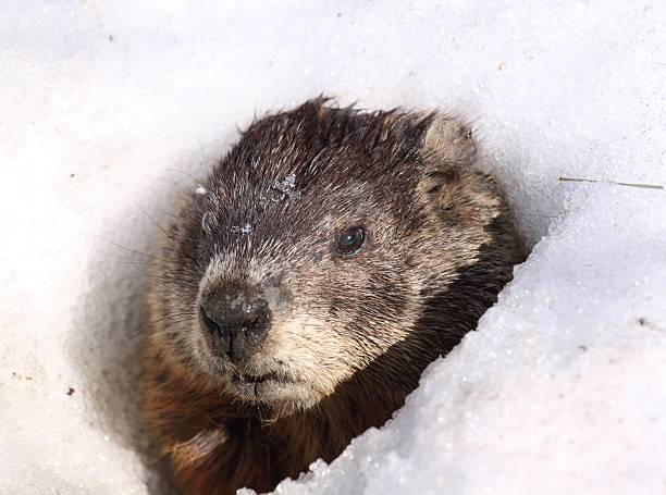 Royalty Free Groundhog Snow Pictures Images And Stock Photos Istock