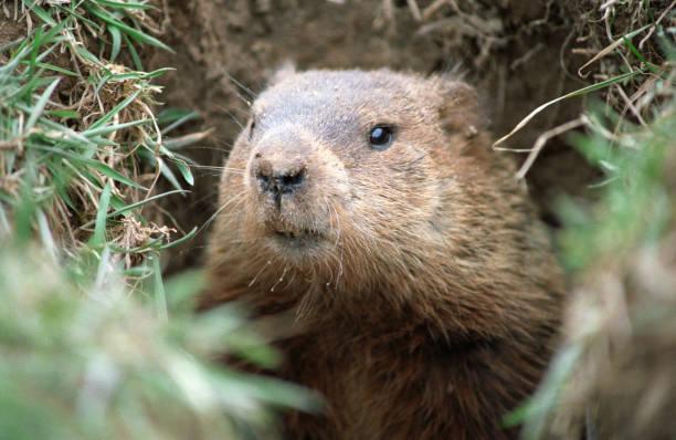 ground hog - groundhog day fotografías e imágenes de stock