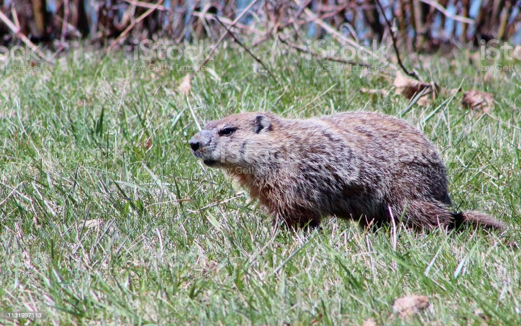 Ground hog running stock photo