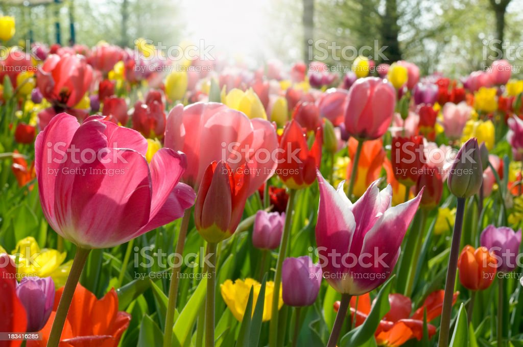 Ground level view of multicolored tulips stock photo