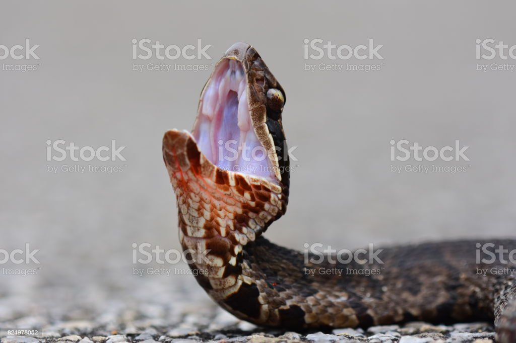 Ground level view of water moccasin during threat display stock photo