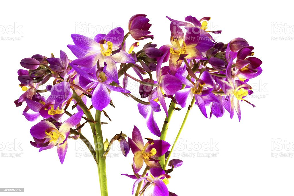 ground orchid flowers (Spathoglottis) royalty-free stock photo
