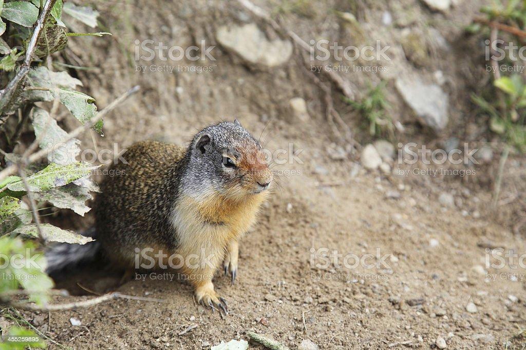 Ground Squirrel - Canada stock photo