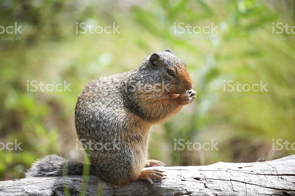 Ground Squirrel In Jasper stock photo