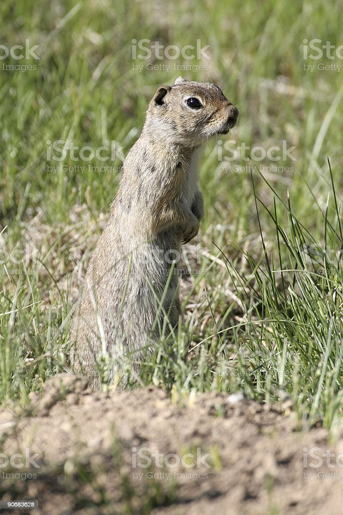 Ground Squirrel in the Rockies stock photo