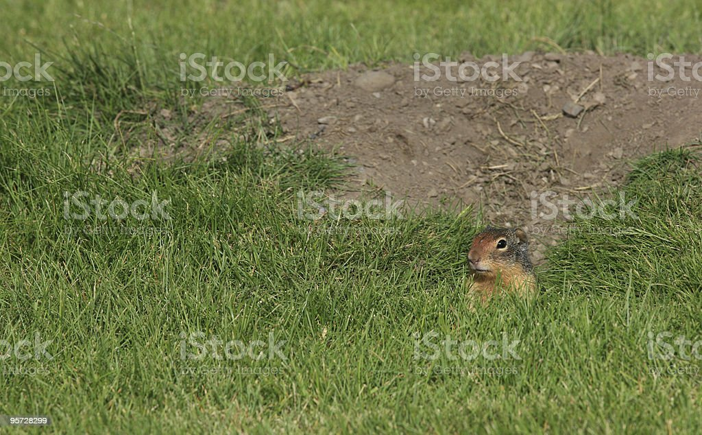 Ground Squirrel Peeking Out stock photo