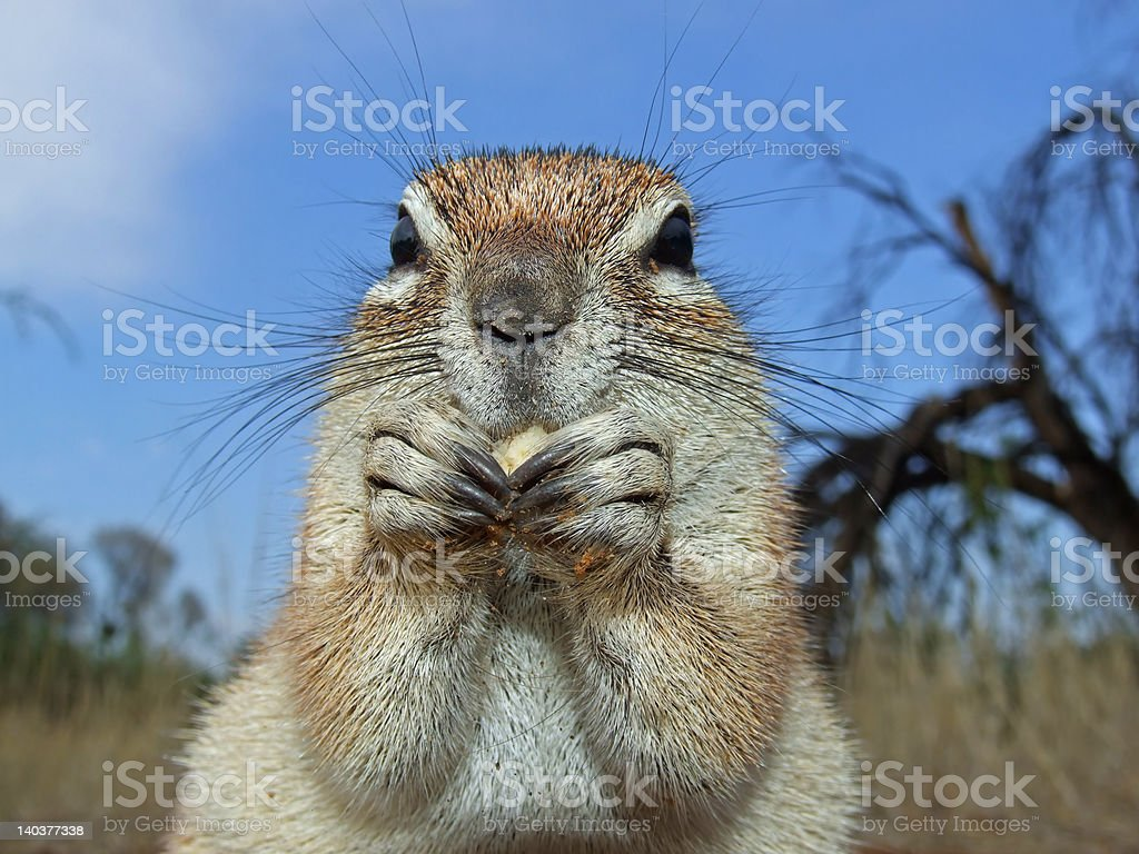 Ground squirrel royalty-free stock photo