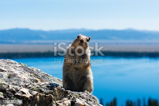 Squirrel standing on the granite rock, curiously looking directly at the camera. Blurred blue lake, valley and mountain scenery in the distance.