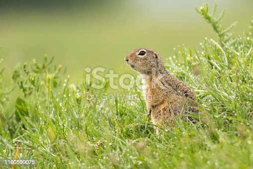 Ground Squirrel, Souslik in morning grass