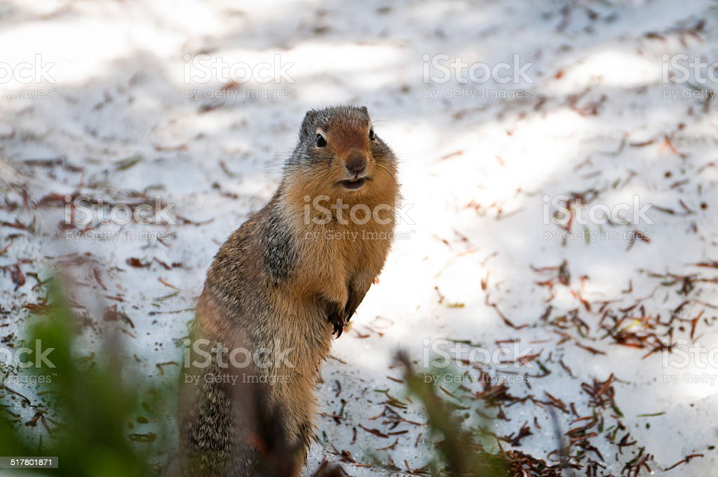 Ground squirrel standing on hindlegs stock photo