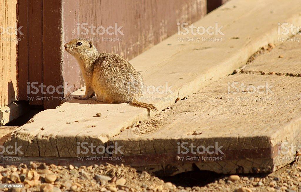 Ground Squirrel with Burrow Entryways stock photo