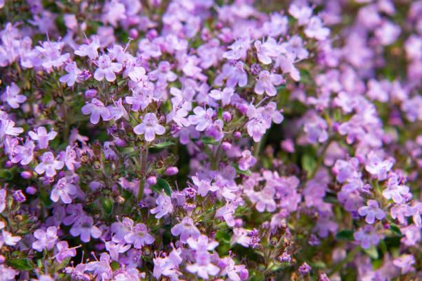 Groundcover blühende lila Blüten Thymian Serpyllum auf einem Bett im Garten, Nahaufnahme, weiche selektive Fokus – Foto