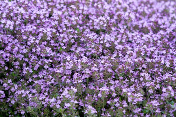 Groundcover blühende lila Blüten Thymian Serpyllum auf einem Bett im Garten, weiche selektive Fokus – Foto