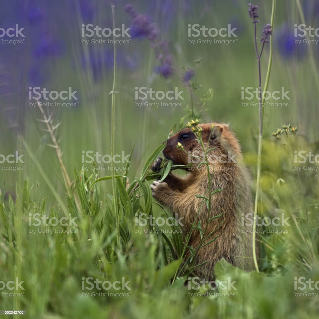 Groundhog day marmot gopher mammal rodent royalty-free stock photo