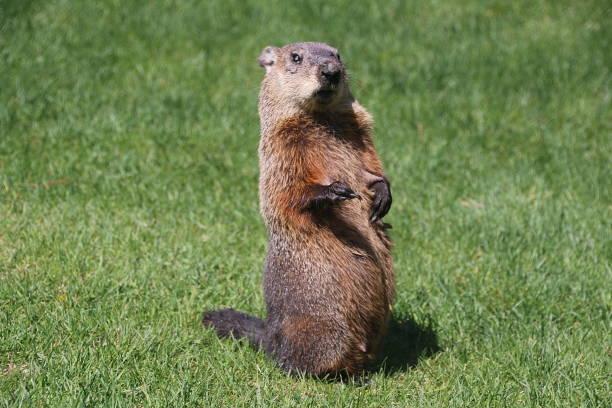 ¿día de la marmota? - groundhog day fotografías e imágenes de stock