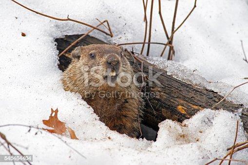 Groundhog Emerging from Snowy Den