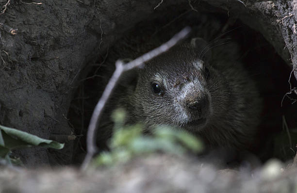 Groundhog in a Graveyard stock photo