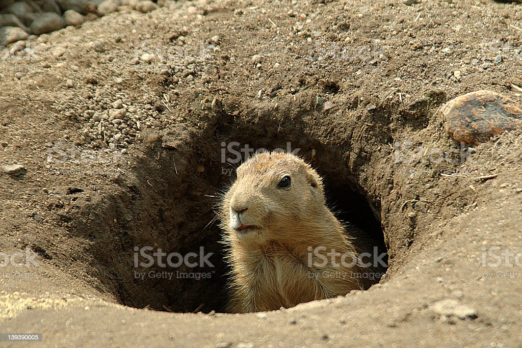 Groundhog in the hole royalty-free stock photo