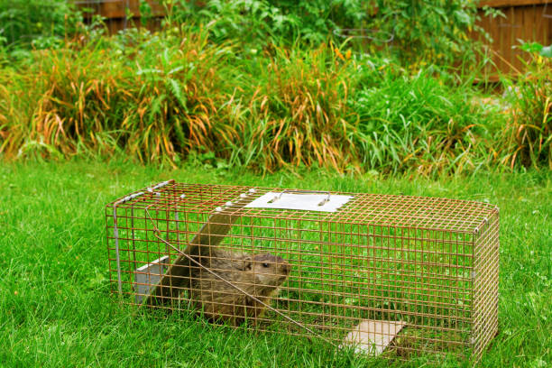 groundhog in trap in front of garden - trappola foto e immagini stock