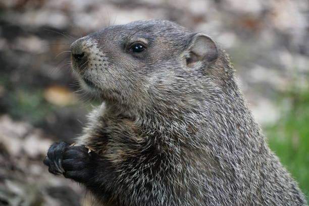 marmota - groundhog day fotografías e imágenes de stock