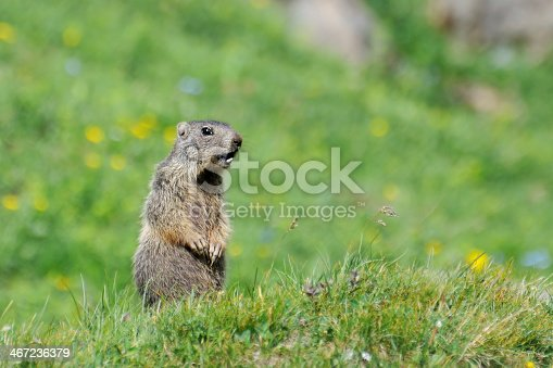 A groundhog whistling, in Austrian mountain