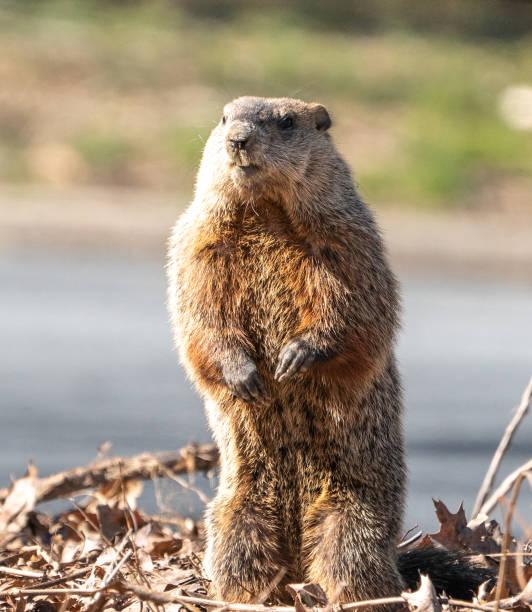 marmota de pie sobre patas traseras, mirando a la cámara. - groundhog day fotografías e imágenes de stock