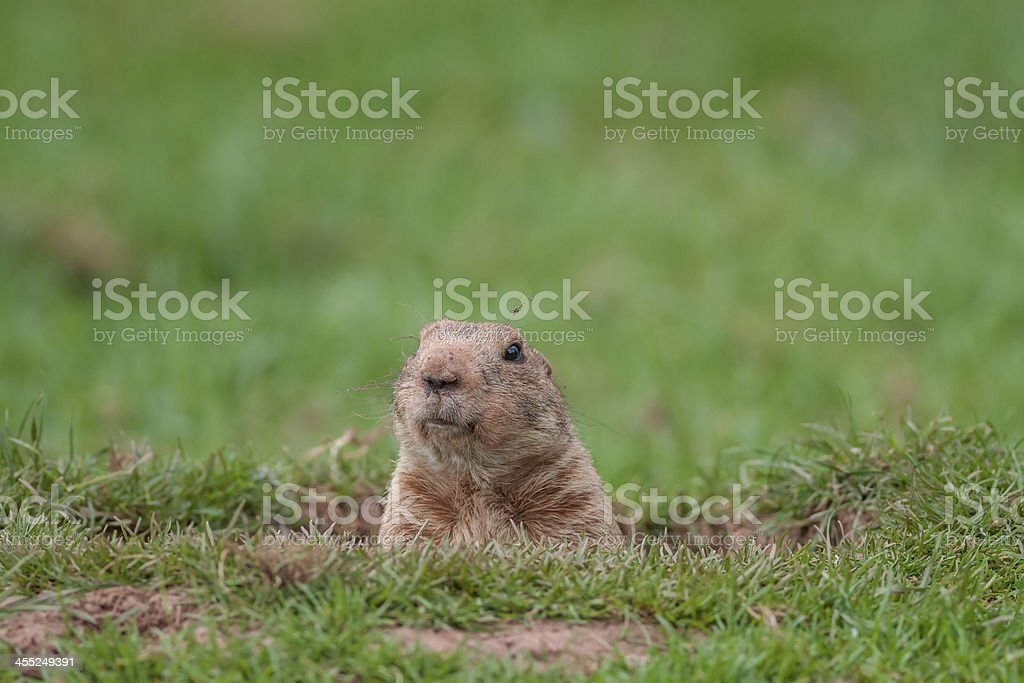 A groundhog taking a peek from a hole stock photo