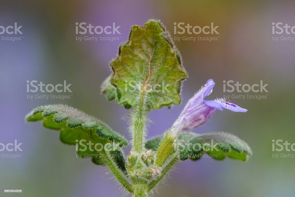 Ground-ivy (Glechoma hederacea) flowering royalty-free 스톡 사진