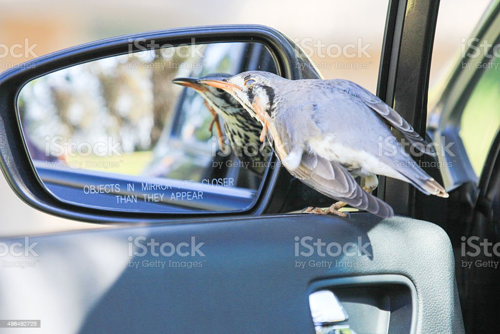 Groundscraper Thrush in Royal Natal National Park, South Africa royalty-free stock photo