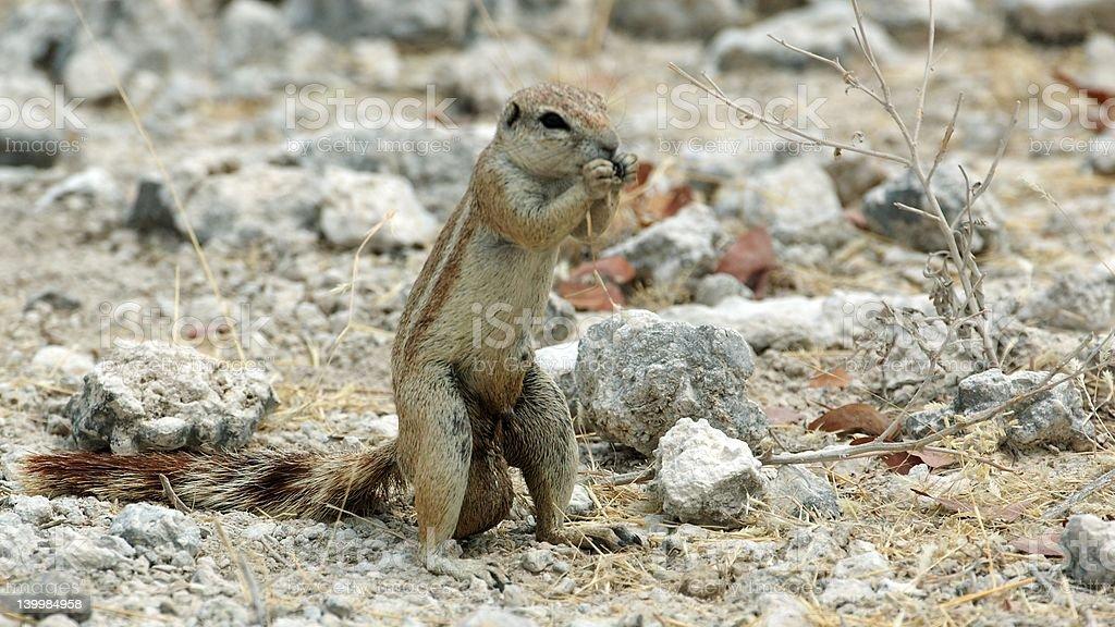 Groundsquirrel pretender royalty-free stock photo