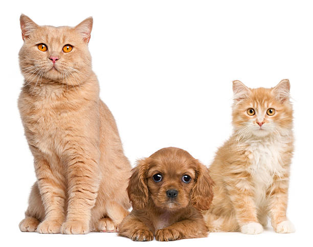 Group cats and dogs in front of white background picture id471347323?b=1&k=6&m=471347323&s=612x612&w=0&h=vlxmgdt5bkr3pj3wjvw3q9jsamcibjzqgpgbb1h6ori=