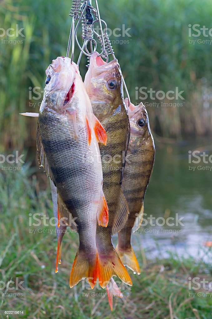 group caught perch stock photo