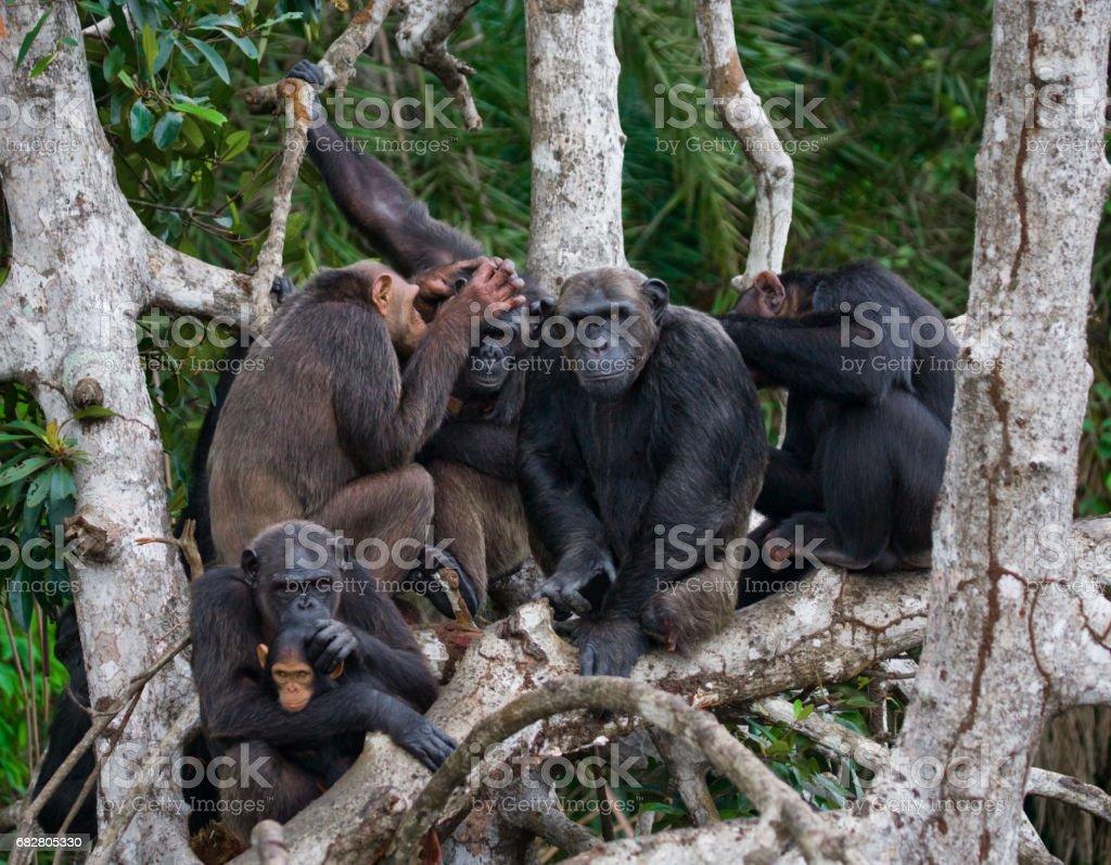 Group chimpanzee sitting on mangrove branches. stock photo