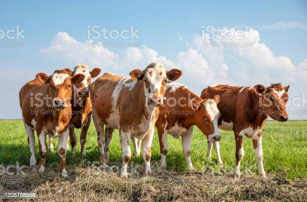 Photo of Group cows stand together in a field under a blue sky, red and white heifer