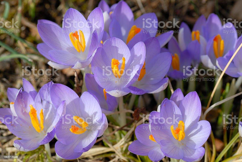 Group crocuses in garden stock photo