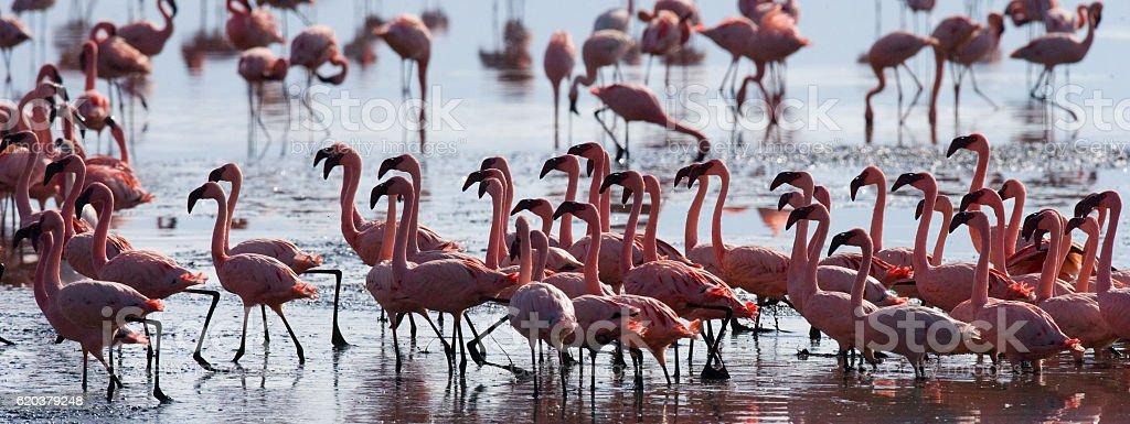 Group flamingos on the lake. Kenya. zbiór zdjęć royalty-free