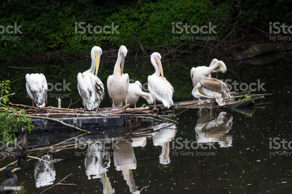 Groupe de pélican blanc est assis sur un rondin dans le lac - Photo