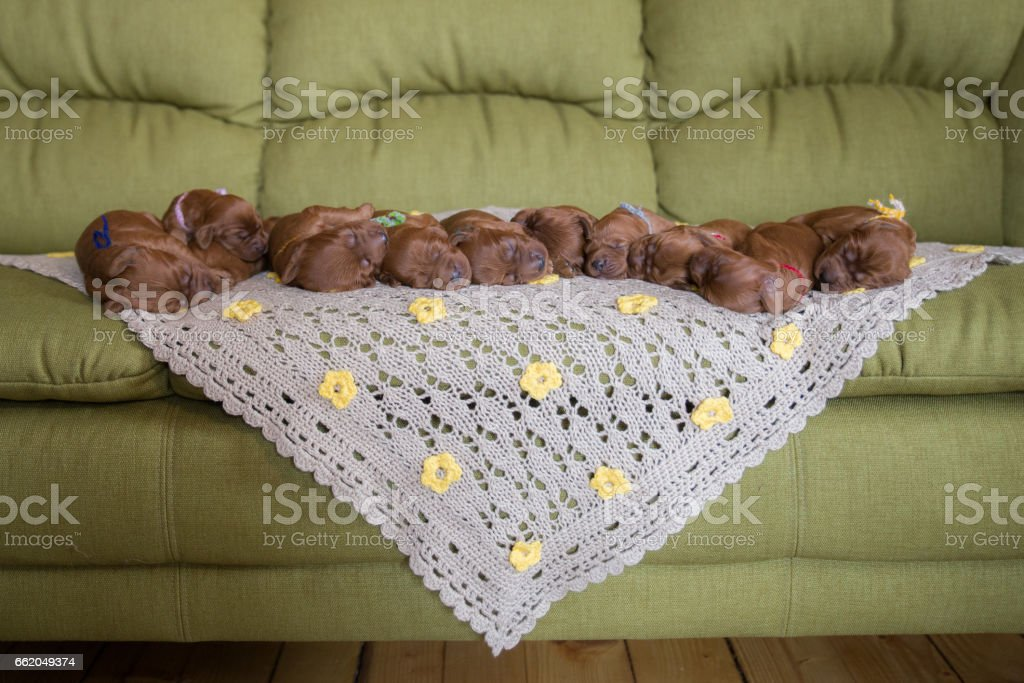 Group Irish Setter puppies on the couch royalty-free stock photo