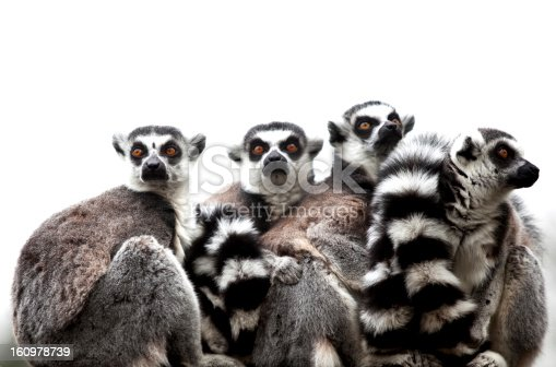 Group of 4 Ring-tailed Lemurs, at Flamingoland Zoo, North Yorskshire, England