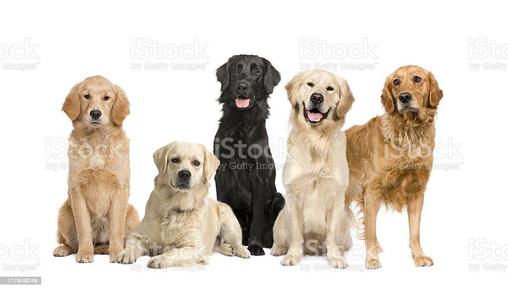 Gruppe Von 5 Hunde Golden Retriever Und Labrador Stock Fotografie