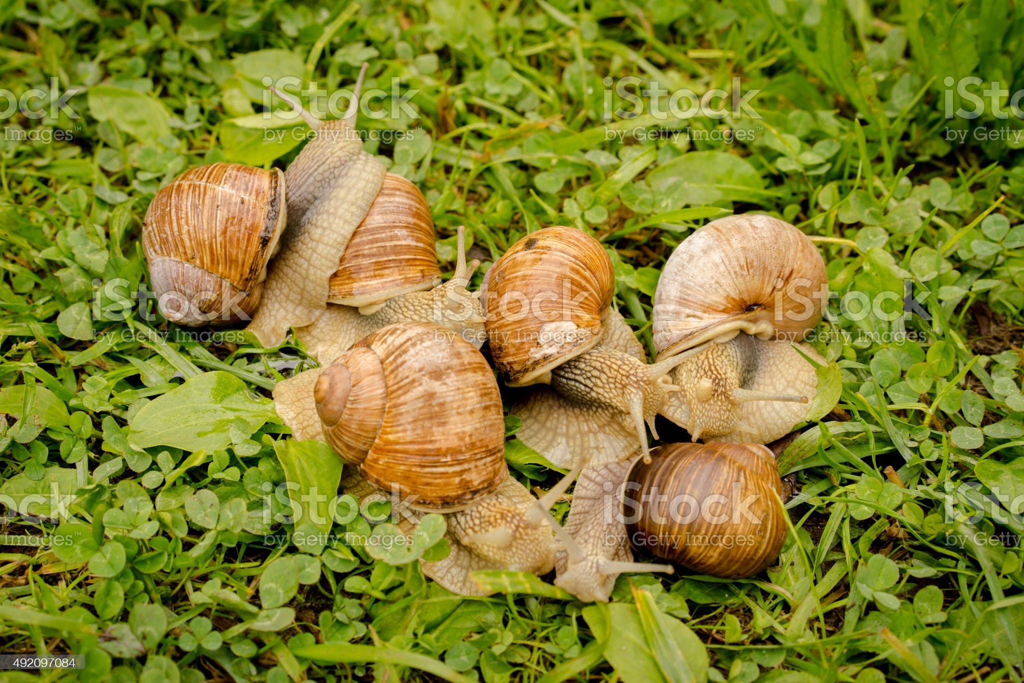 Groupe de 6 les escargots sur l'herbe - Photo de 2015 libre de droits